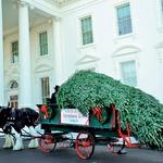 Največjo smreko so v Belo hišo pripeljali kar s konji. (foto: Profimedia)