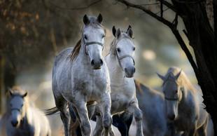 Kobilarna Lipica ob Prešernovem dnevu z razstavo in prostim vstopom