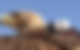 Kraljevi orel postavil nov svetovni rekord s poletom z najvišjega nebotičnika