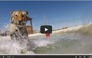 Čudovit trenutek, ko se sibirski tiger prvič v življenju preda vodnim užitkom