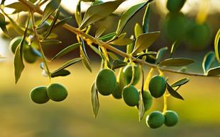 Prezimite oljke: Tudi robustne rastline potrebujejo zaščito!