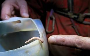 Prva jamska pijavka na svetu odkrita v Čaganki na Dolenjskem