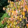 Jeseni se listje zimske češnje obarva intenzivno rumeno oranžno do karminsko rdeče.