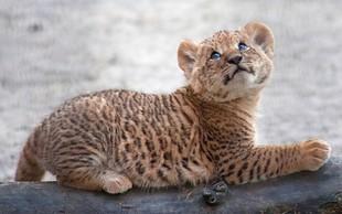 V ruskem potujočem živalskem vrtu se je skotil liger - redek križanec med levom in tigrico!
