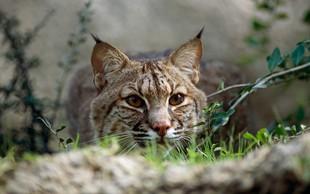 Washington: Risinja se je po treh dneh svobode sama vrnila v živalski vrt!