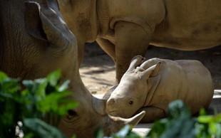 V živalskem vrtu v Izraelu se je skotil beli nosorog