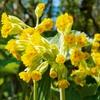 Cvetovi pomladanskega jegliča (Primula veris) spominjajo na sveženj ključev.
