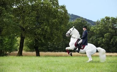 Najlepši beli lipicanci premierno v Lipici!