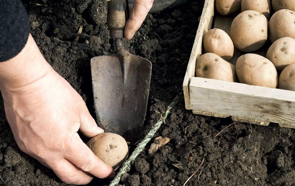 Sajenje krompirja (foto: Shutterstock)