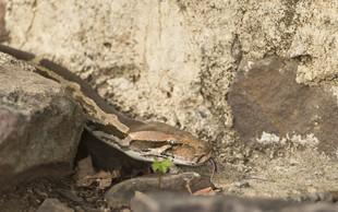 V velikanskem pitonu našli mrtvega Indonezijca