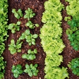 Vrtnarjenje: Učinkovit razpored na gredah