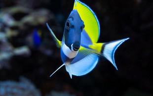 Rekordne temperature Ligurskega morja že privabljajo tropske ribe!