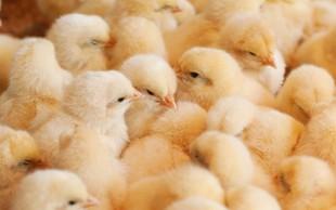 Zaradi škandala z oporečnimi jajci zdaj pod drobnogledom piščanci