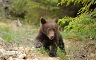 Slovenski medvedi povzročajo težave v francoskih Pirenejih