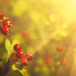 Glog - za vilinska bitja je sveto drevo