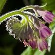 Gabez: Rastlina, ki varuje