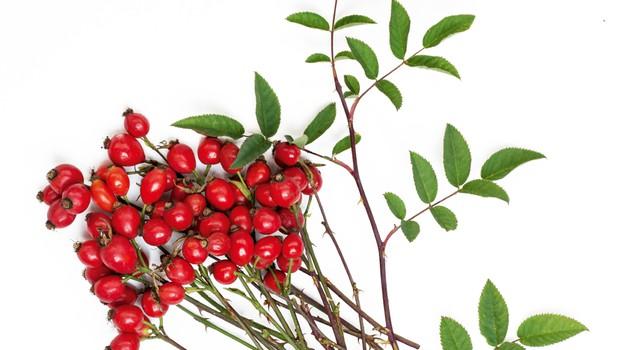 Šipek - Venerina rastlina z močno žensko esenco (foto: Shutterstock)
