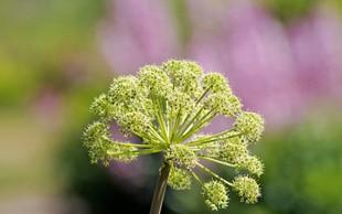 Angelika - rastlina, ki varuje dom in premoženje