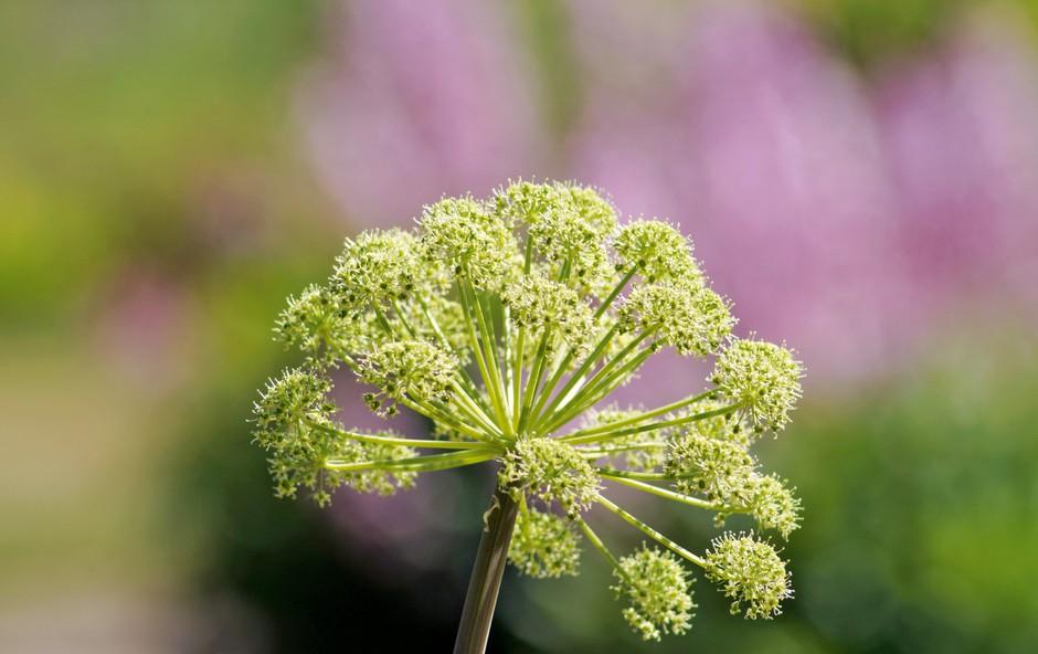 Angelika - rastlina, ki varuje dom in premoženje (foto: Shutterstock)