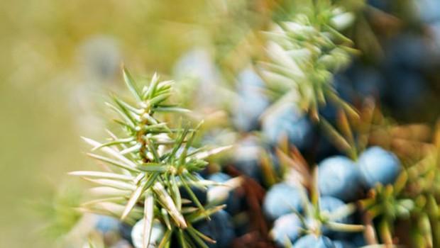 Brin velja pri nas za sveto rastlino (foto: Shutterstock)