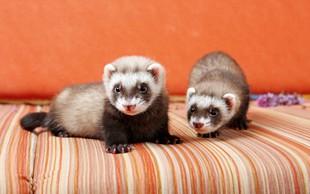 Dihurji - majhni nepridipravi kot hišni ljubljenčki
