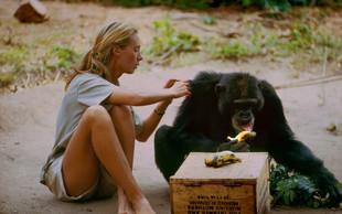Najbolj opevani dokumentarec o življenju Jane Goddall kmalu na National Geographicu!