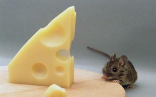 Argentinski policisti trdijo, da so zaplenjeno drogo pojedle - miši!