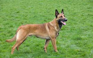 Sposobnosti psov naj bi bile pogosto precenjene