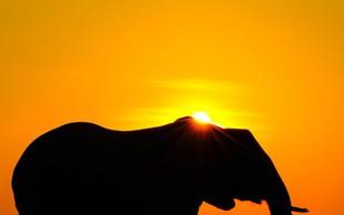 VIDEO: Slon pobegnil iz  živalskega vrta in se sprehodil naokrog