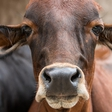 Za bolgarsko kravo, ki je zatavala v Srbijo, se je zavzel tudi Paul McCartney!