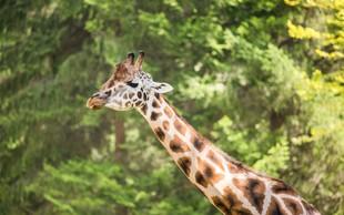 Svetovni dan žiraf praznujejo tudi v ZOO Ljubljana