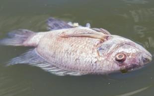 Pogin rib na sotočju Soče in Tolminke