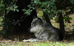 Volk samotar je najboljši prijatelj, kakršnega si lahko zamislite