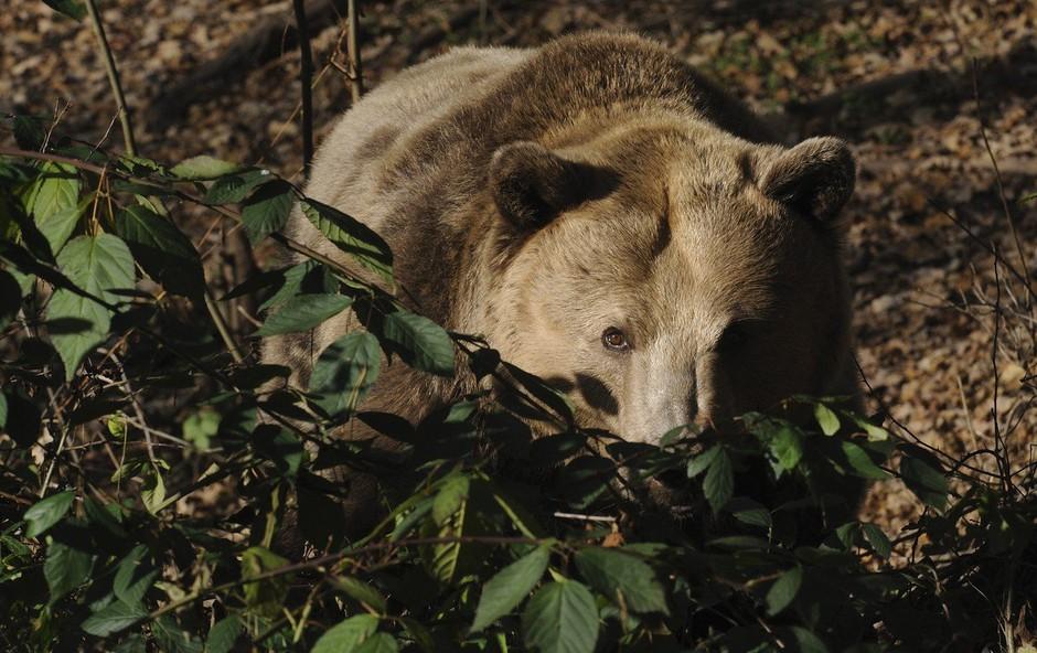 Kljub protestom francoskih kmetov je slovenska medvedka prispela v Pireneje (foto: Profimedia)