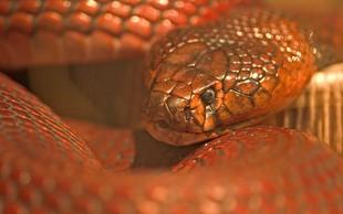 V Piranu našli afriško pljuvajočo rdečo kobro