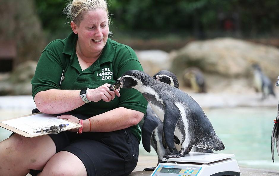 Istospolna pingvina Sphen in Magic postala starša (foto: profimedia)