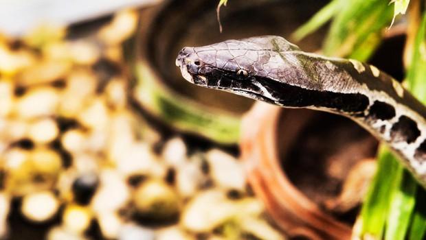 Tajca ugriznil trimetrski piton, ki je ždel v straniščni školjki (foto: profimedia)