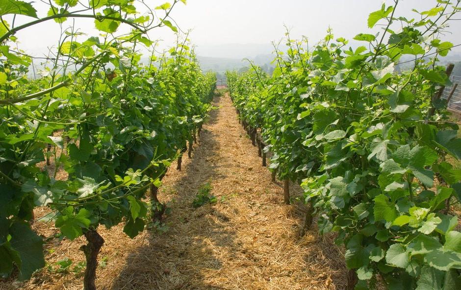 Po štirih količinsko skromnejših letih primorske vinogradnike letos navdušila kakovost (foto: profimedia)