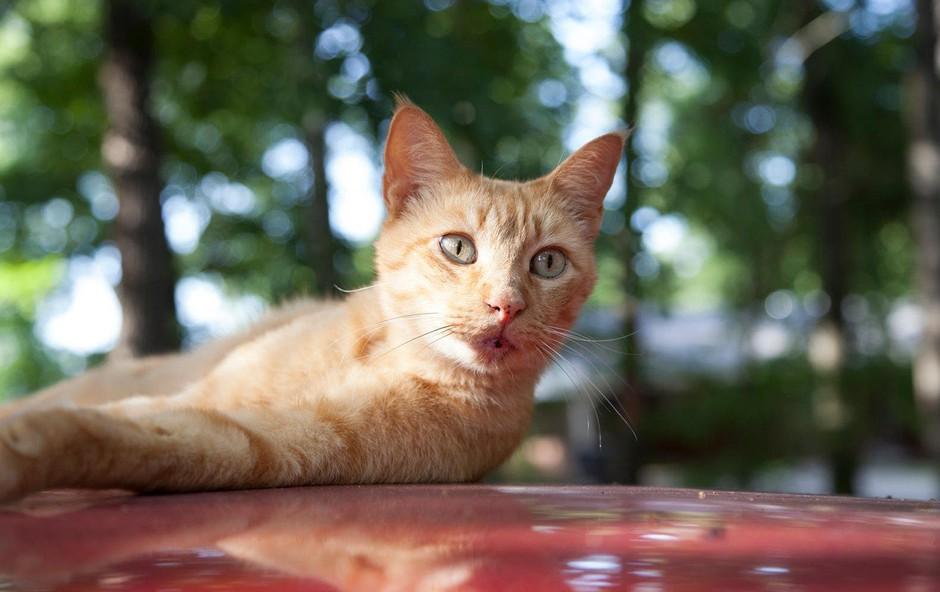 Simbolni pomen zlate progaste mačke: Znak drznosti in pustolovstva! (foto: profimedia)