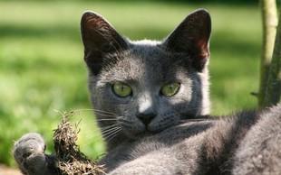 Simbolni pomen svetlo sive mačke: Znak nedolžnosti in otroštva!