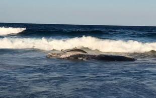 V Indoneziji naplavilo mrtvega kita, ki je imel v želodcu kar šest kilogramov plastike!