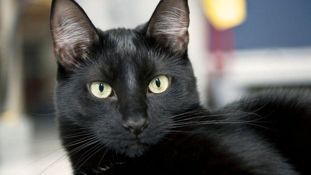 Simbolni pomen črne mačke: So znak zaščite in ustvarjalnosti (foto: profimedia)