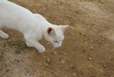 Simbolni pomen bele mačke, ki vam prekriža pot