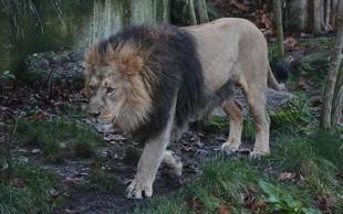 Lev v ameriškem živalskem vrtu pokončal zaposleno