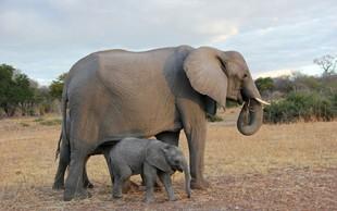 Razlaga sanj: Slon je tudi znamenje potlačenega spomina, ki se skriva v podzavesti!
