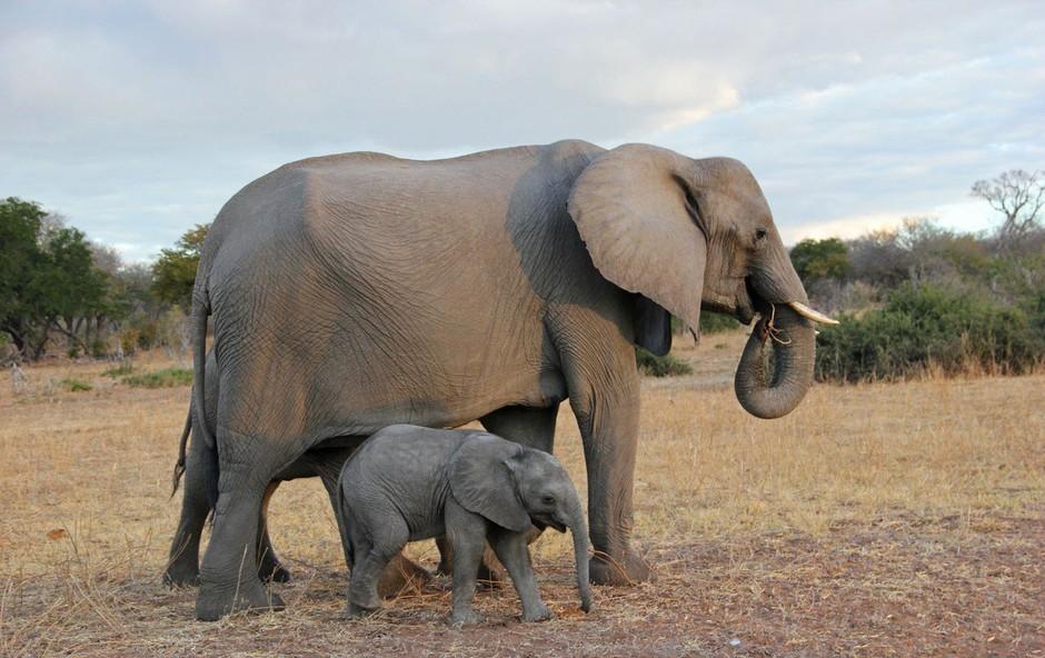 Razlaga sanj: Slon je tudi znamenje potlačenega spomina, ki se skriva v podzavesti! (foto: Profimedia)