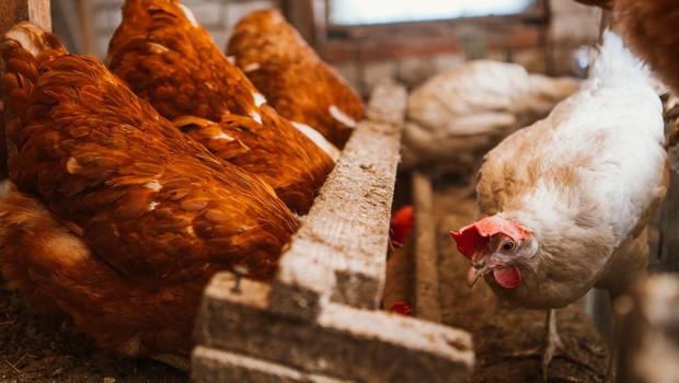 Gensko spremenjene škotske kokoši v Edinburghu valijo zdravila (foto: profimedia)