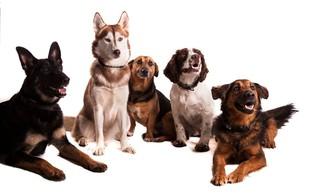Inteligentnosti psa ne moremo oceniti zgolj po velikosti možganov