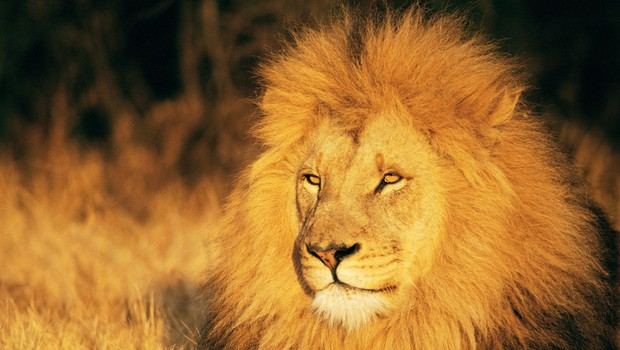 Razlaga sanj: Lev je znamenje moči in poguma! (foto: profimedia)