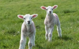 Francija: V znak protesta kmet v šolo vpisal 15 ovc!